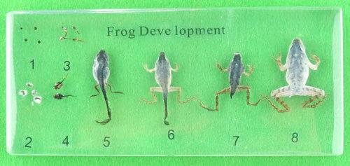 Specimen Block - Frog Development - Specimen Block - Frog Development
