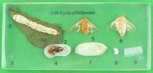 Specimen Block - Life Cycle of Silkworm - Specimen Block - Life Cycle of Silkworm