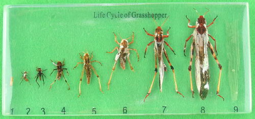 Specimen Block - Life Cycle of a Grasshopper - Specimen Block - Life Cycle of a Grasshopper