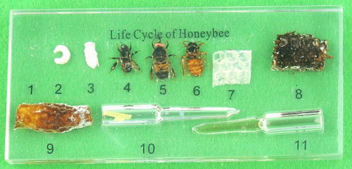 Specimen Block - Life Cycle of the Honey Bee - Specimen Block - Life Cycle of the Honey Bee