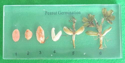 Specimen Block - Peanut Germination - Specimen Block - Peanut Germination