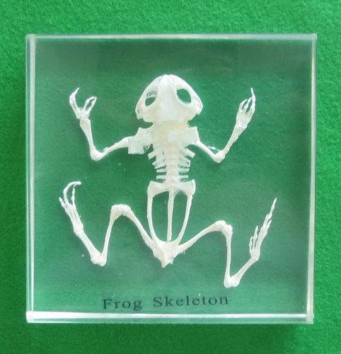Specimen Block - Frog Skeleton - Specimen Block - Frog Skeleton