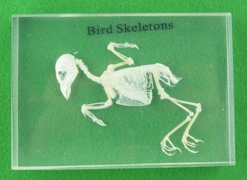 Specimen Block - Bird Skeleton - Specimen Block - Bird Skeleton