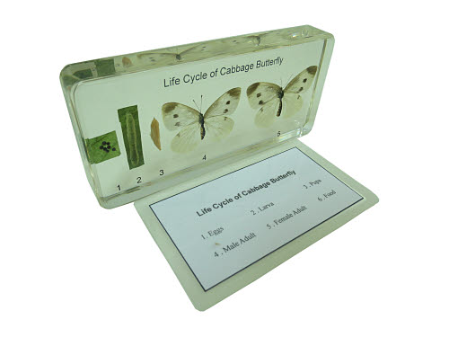 Specimen Block - Life Cycle of Cabbage Butterfly - Specimen Block - Life Cycle of Cabbage Butterfly
