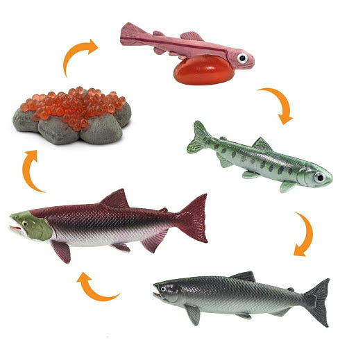 Life Cycle of a Salmon Miniatures - Life Cycle of a Salmon Miniatures