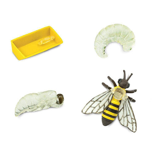 Life Cycle of a Honey Bee Miniatures - Life Cycle of a Honey Bee Miniatures