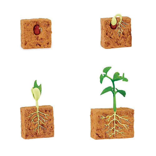 Life Cycle of a Green Bean Plant Miniatures - Life Cycle of a Green Bean Plant Miniatures