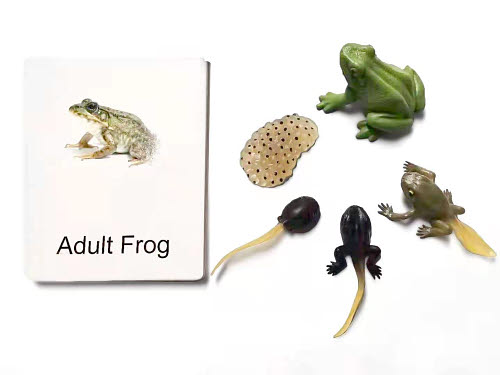 Life Cycle of a Frog Miniatures with Corresponding Cards - Life Cycle of a Frog Miniatures with Corresponding Cards